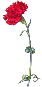 red_carnation