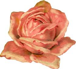 big-pink-rose