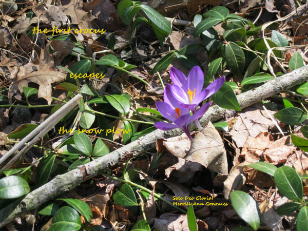 HAIGA - the first crocus escapes the snow plow - 4-6-14