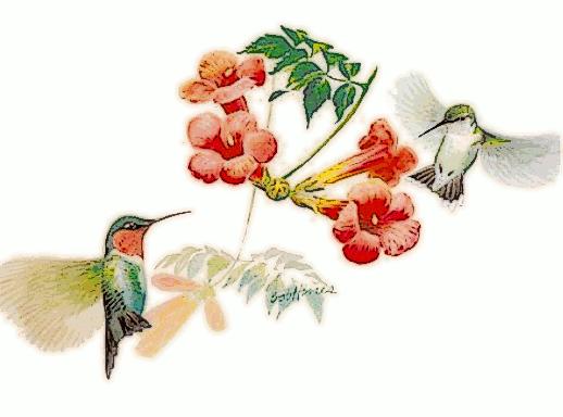 Ruby-Throated_Hummingbird_by_trumpet_vine