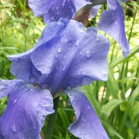 Iris and Raindrops