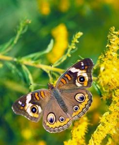Buckeye_butterfly_on_Goldenrod