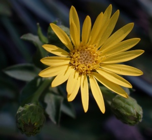 Maryland_Golden_Aster__Chrysopsis_mariana_800