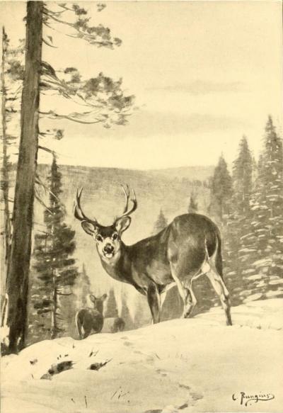 deer-rungius