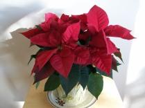 Poinsettia 003