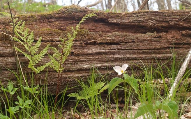 Appalachian_trail_trilium