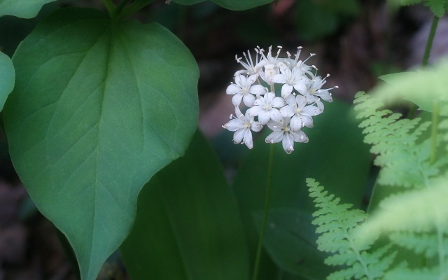 Speckled_Wood_Lily__Clintonia_umbellulata