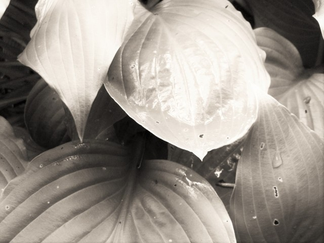 Another version of the hosta photo