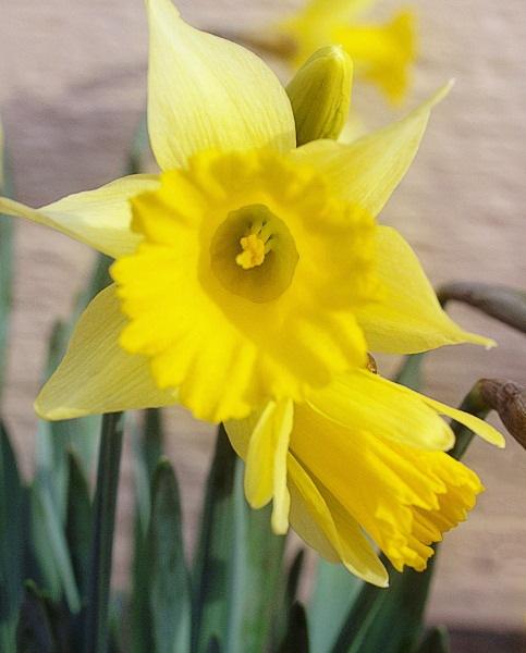 daffodil_February