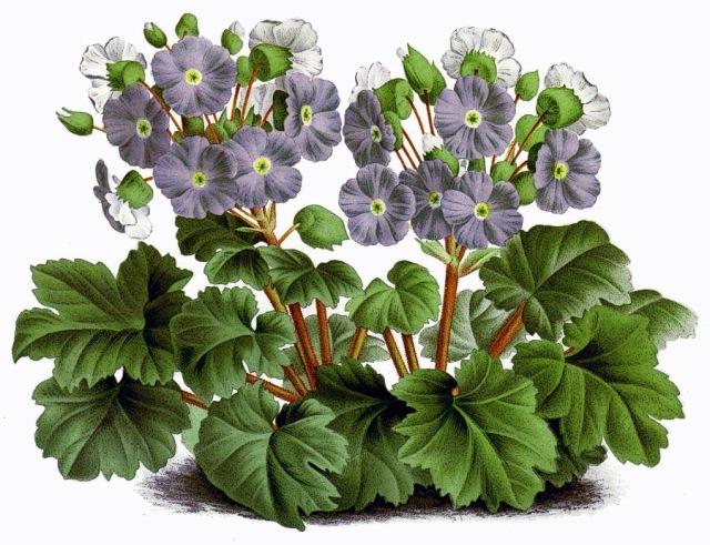Primula_sinensis_vintage