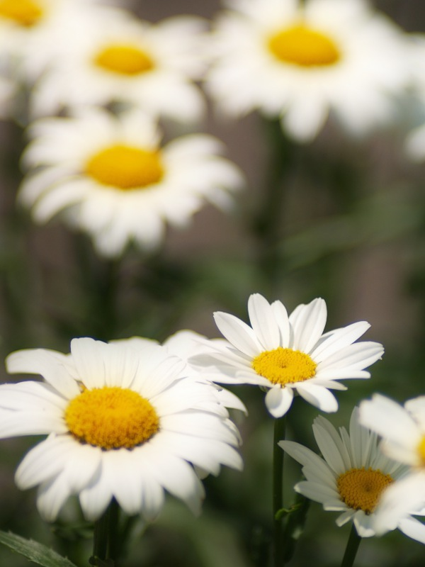 Ox-Eyed_Daisy__Chrysanthemum_leucanthemum
