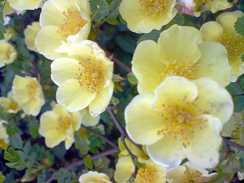 Rosa_foetida_yellow