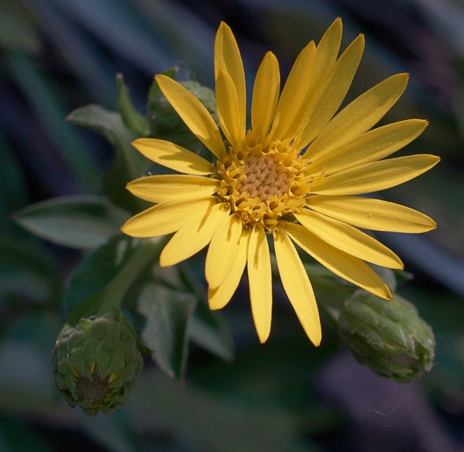 Maryland_Golden_Aster__Chrysopsis_mariana