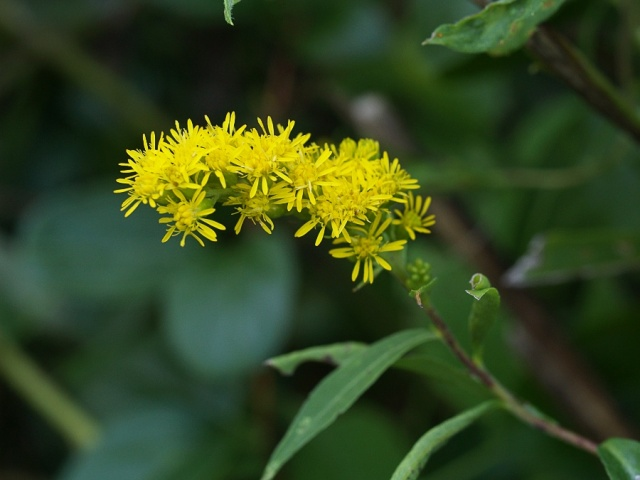 Goldenrod__Solidago_sp