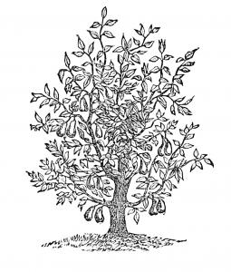 fig-tree-255x300