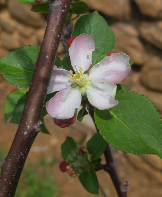 apple_blossom_photo